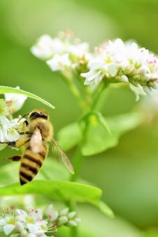ミツバチ、そば